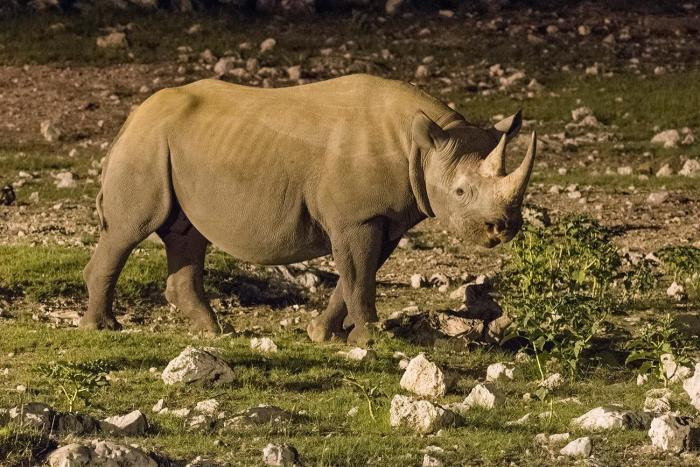 thumbnail rinoceronte